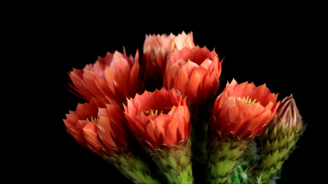cactus bloom - flowering cactus stock videos & royalty-free footage
