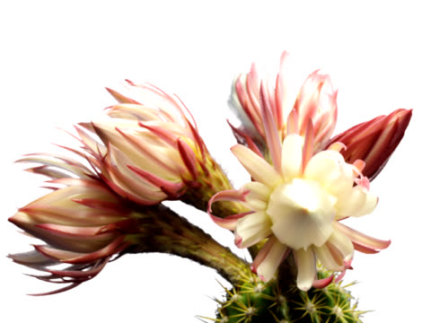 cactus blooming - cactus stock videos and b-roll footage