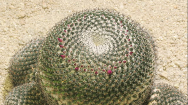 a cactus blooms in a dry landscape. - flowering cactus stock videos & royalty-free footage