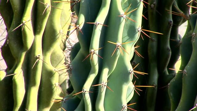 cactus, cereus puruvianus - dornig stock-videos und b-roll-filmmaterial