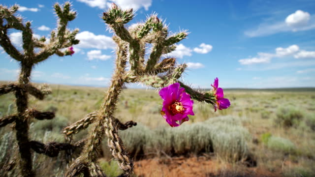 cactus desert, new mexico in the spring time - flowering cactus stock videos & royalty-free footage