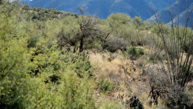 サボテン砂漠、ツーソン、アリゾナ州 - ガラパゴスウチワサボテン点の映像素材/bロール