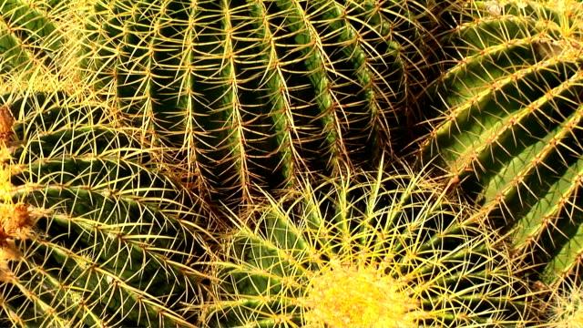 vídeos y material grabado en eventos de stock de cactus, echinocactus grusonii - cuatro objetos