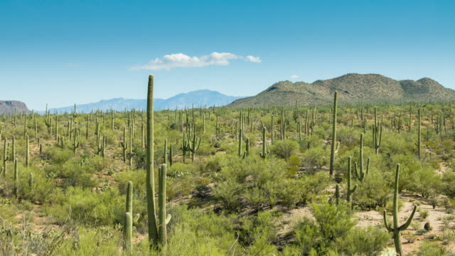 Cactus Field in Saguaro National Monument - Time Lapse