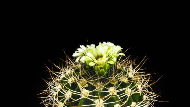 Cactus Flower in bloei