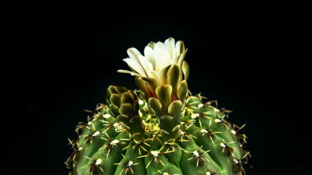 cactus flower blooming - flowering cactus stock videos & royalty-free footage