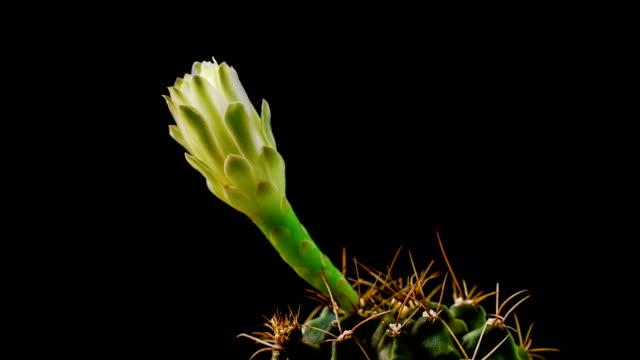 Cactus flower opening