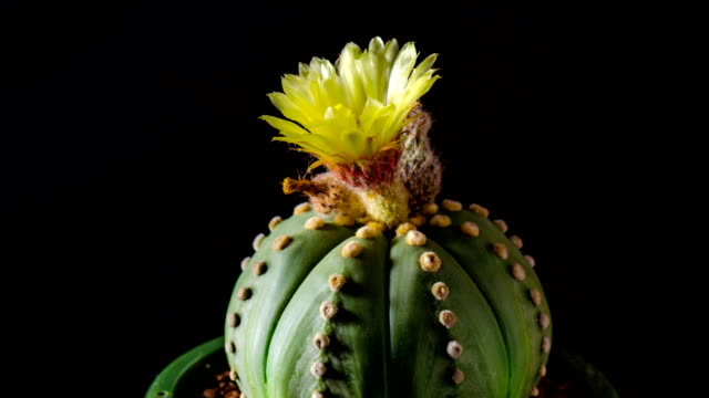 cactus flower opening - succulent plant stock videos & royalty-free footage