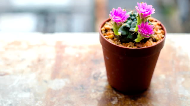 cactus flower timelapse - succulent plant stock videos & royalty-free footage
