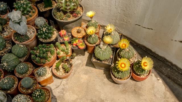 cactus flower under sunlight shadow