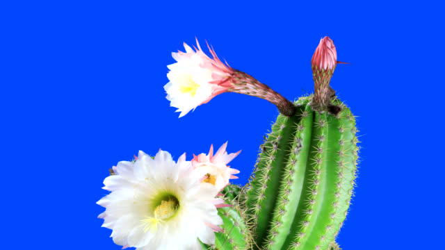 cactus flower's life cycle - life cycle stock videos & royalty-free footage