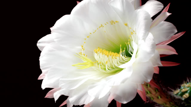 cactus flower's life cycle - single flower stock videos & royalty-free footage