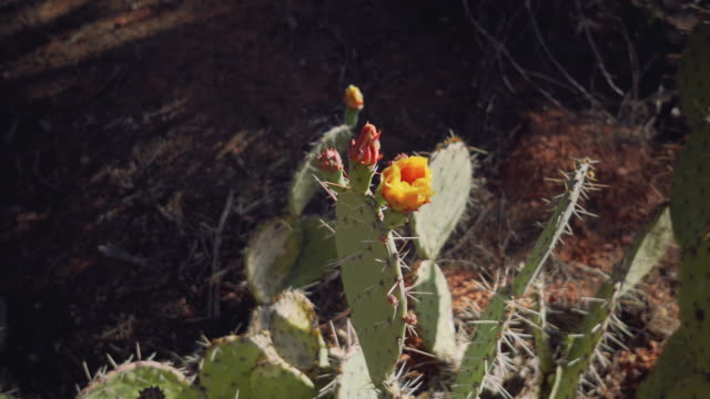 cactus flowers - sedona stock videos & royalty-free footage