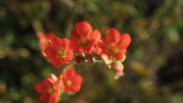stockvideo's en b-roll-footage met cactus flowers - cactus