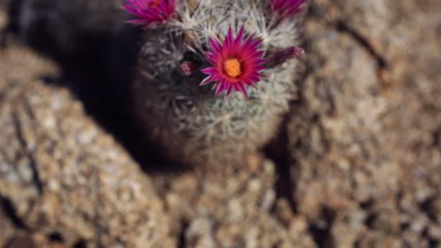 vídeos de stock, filmes e b-roll de cactus flowers - arbusto tropical