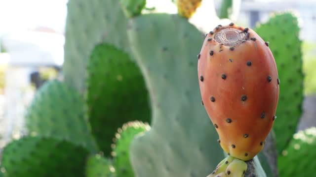 サボテンフルーツ - プリックリー梨4kビデオ - ガラパゴスウチワサボテン点の映像素材/bロール