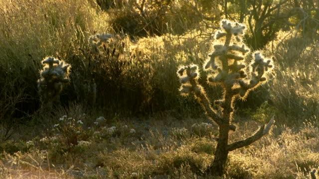 a cactus in late light in a california desert. - 熱帯の低木点の映像素材/bロール