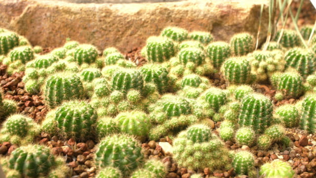 cactus in the desert garden, 4k - cactus texture stock videos & royalty-free footage