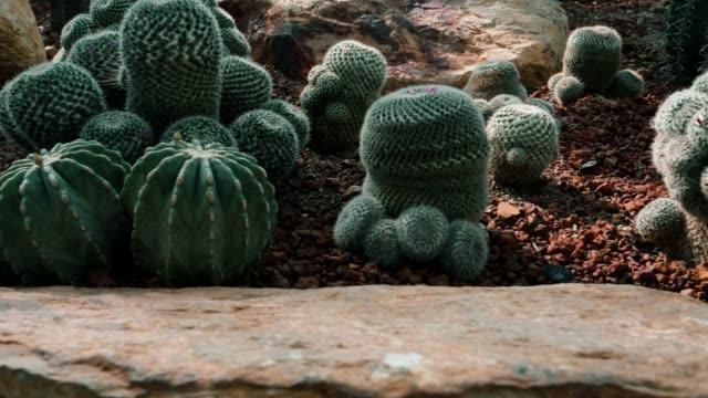 庭のサボテン - ガラパゴスウチワサボテン点の映像素材/bロール