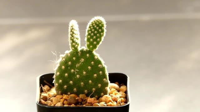 vidéos et rushes de cactus dans la chaud lumière du soleil - cactus pot