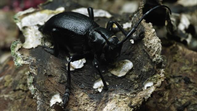 A cactus longhorn beetle crawling off a piece of bark.