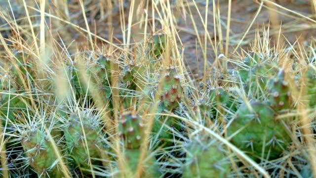 cactus macro pricklypear prickly pear optunia fragilis 2 painted hills oregon 26 - prickly pear cactus stock videos & royalty-free footage