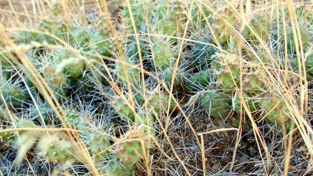 cactus macro pricklypear prickly pear optunia fragilis painted hills oregon 25 - prickly pear cactus stock videos & royalty-free footage