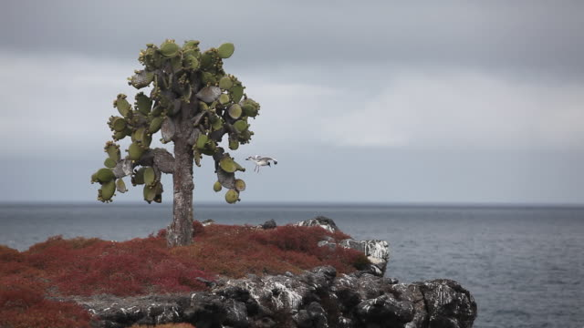 cactus on south plaza island - galapagos islands stock videos & royalty-free footage