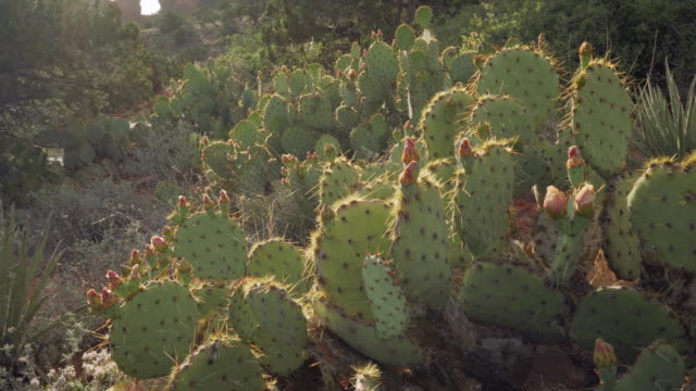 cactus pesdestal - lush stock videos & royalty-free footage