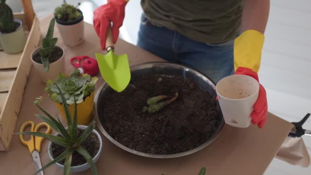 kaktusersatz - sukkulente stock-videos und b-roll-filmmaterial