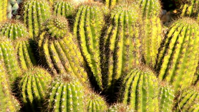 Cactus, Tricocereus Hybrids