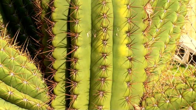 cactus, tricocereus terscheckii - dornig stock-videos und b-roll-filmmaterial