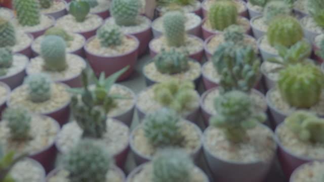 vidéos et rushes de cactus - cactus pot