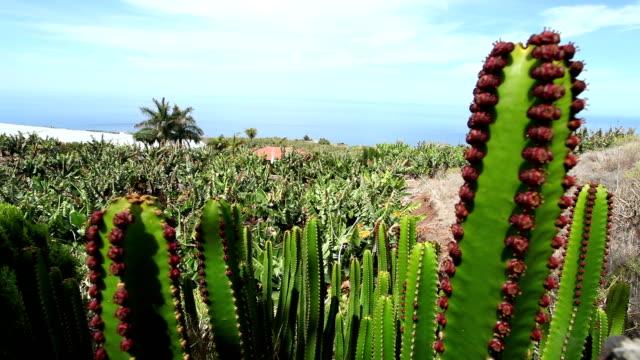 vídeos de stock, filmes e b-roll de cactus com a plantação de banana no fundo - banana de são tomé