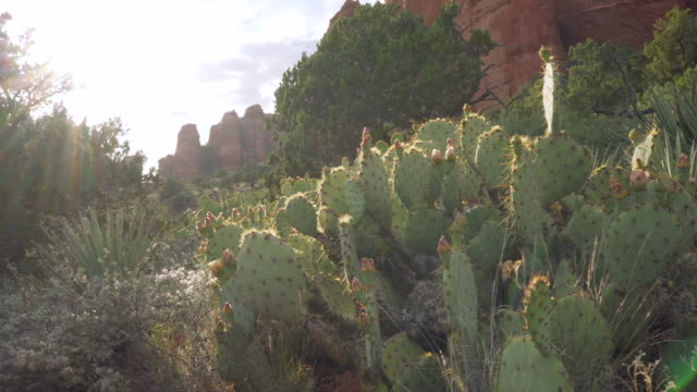 cactus with buttes - lush stock videos & royalty-free footage