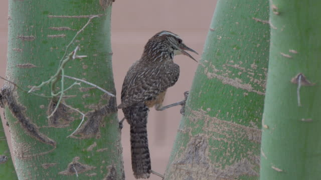 cactus wren perched in a palo verde tree - cactus wren stock videos & royalty-free footage
