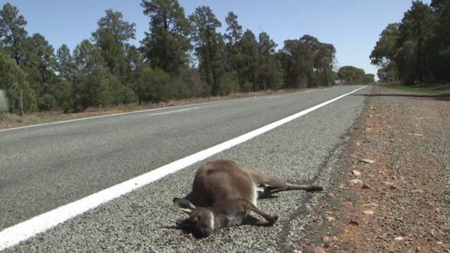 cada vez mas canguros y otros animales nativos se acercan a las ciudades y carreteras de australia para intentar sobrevivir a una sequia agobiante - sequía stock videos and b-roll footage