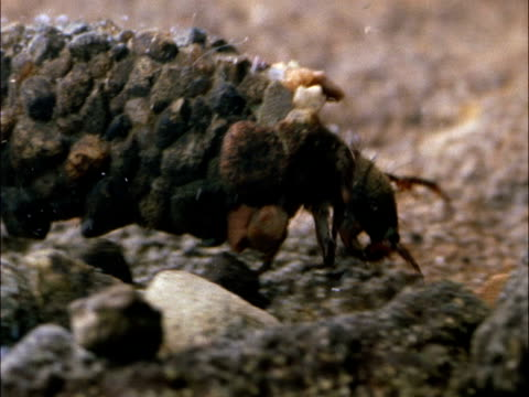 caddis fly (trichoptera) larva crawls over river bed, india - larva stock videos & royalty-free footage
