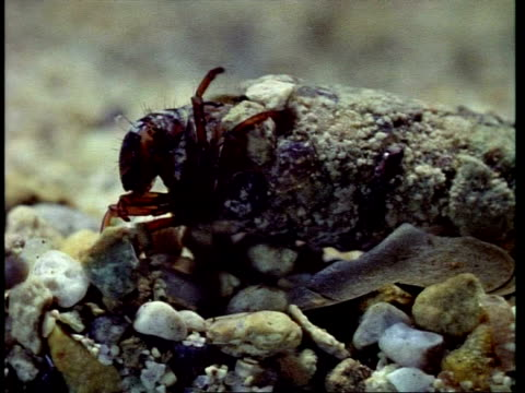cu caddisfly larva selecting stones for camouflage - larva stock videos & royalty-free footage