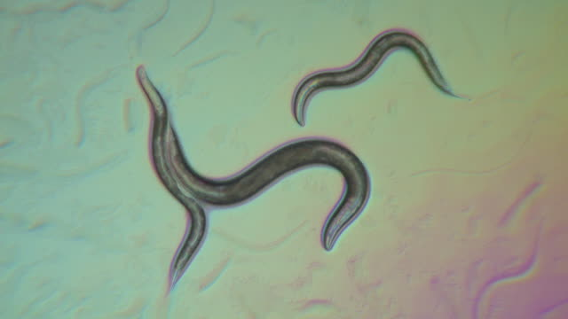 caenorhabditis elegans feeding on a lawn of bacteria ( escherischia coli op50). the surface of the bacterial suspension is churned up by numerous trails of worms crisscrossing the agar plate. - magnification stock videos & royalty-free footage