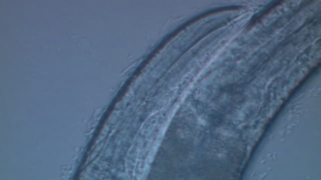 Caenorhabditis elegans (C.elegans) feeding on bacteria (E.coli OP50), visible in water film next to body. Olympus BH-2 40x S-Plan objective, 2.5x NFK photoeyepiece, no condenser. Sony PMW-EX3 FullHD video camera.