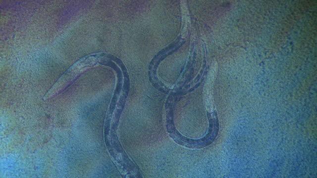 caenorhabditis elegans (c.elegans) larvae feeding on a lawn of bacteria (escherischia coli op50). - escherichia coli video stock e b–roll