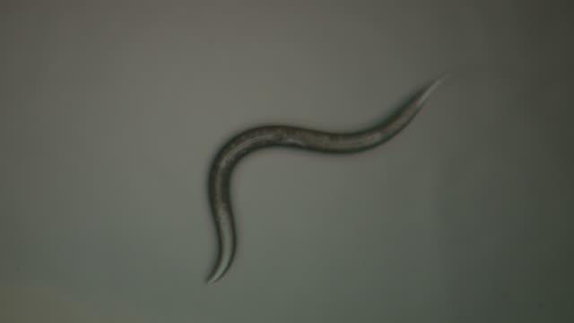 Caenorhabditis elegans (C.elegans) moving across surface of agar plate