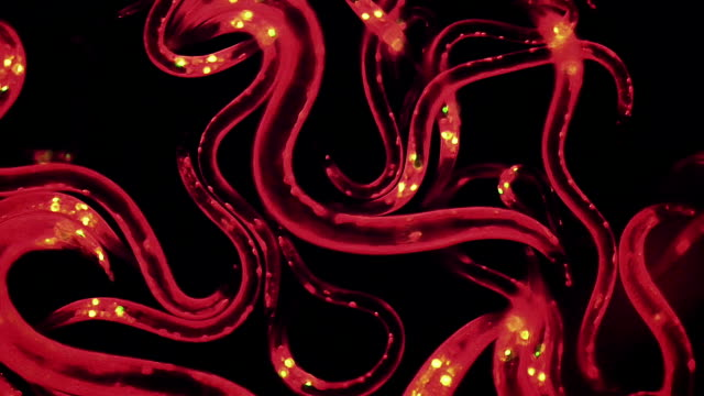 caenorhabditis elegans nematodes - worm stock videos and b-roll footage