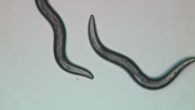 Caenorhabditis elegans (C.elegans)