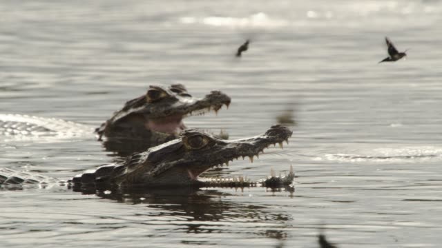 caiman (caiman yacare) attempts to snatch hawk moth (aellopos species) out of the air. - カイマン点の映像素材/bロール