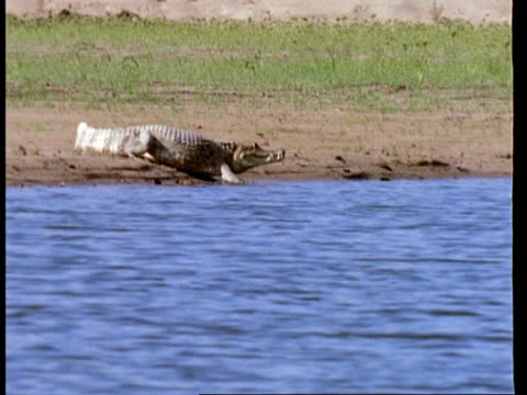 WA Caiman crawling into river, disappears from view, Amazon, South America