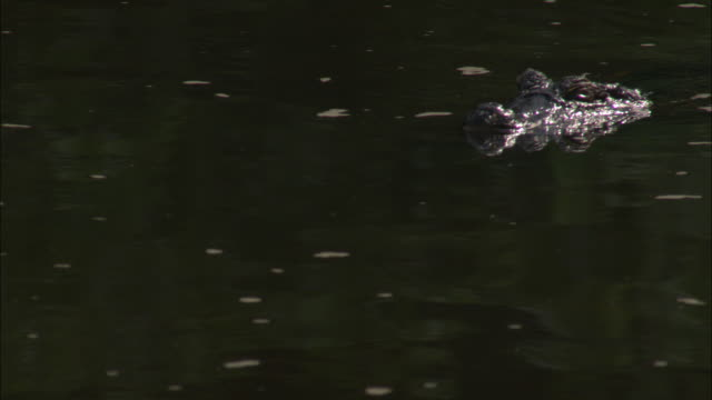 a caiman glides through the water exposing its snout and eyes. - caiman stock videos & royalty-free footage