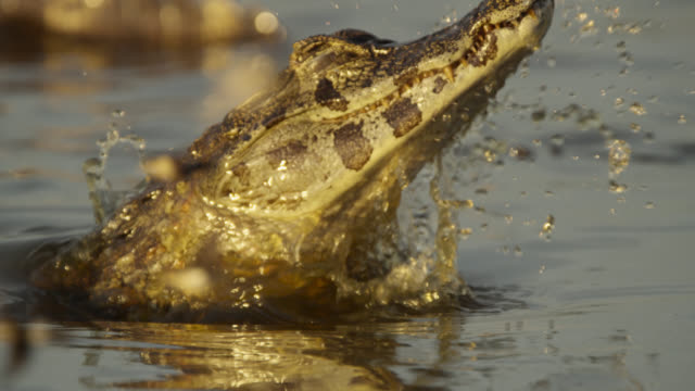 caiman (caiman yacare) grabs hawk moth (aellopos species) as it comes down to drink from pool. - カイマン点の映像素材/bロール
