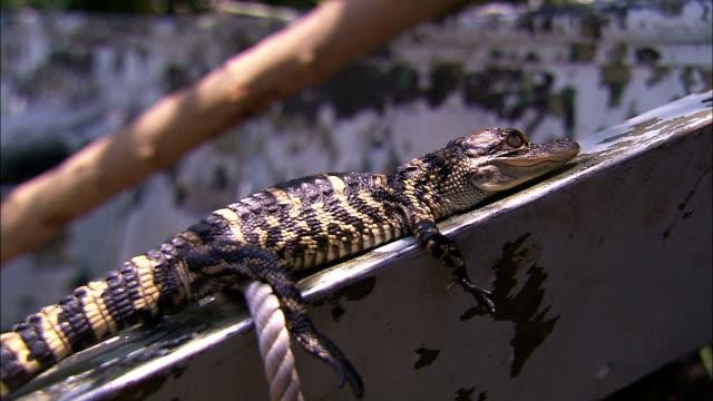 a caiman rests on a wooden plank. - カイマン点の映像素材/bロール